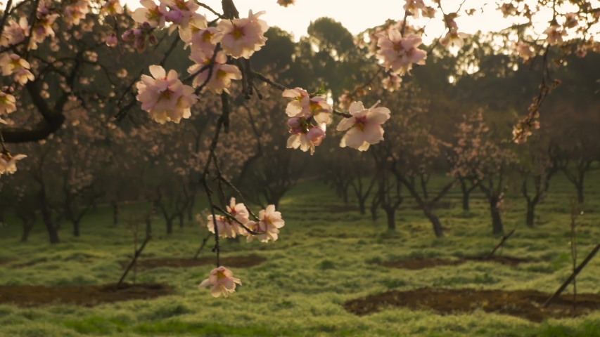 Branches of blooming almond tree with pink flowers on the foreground with alleys of almond trees in bloom at Quinta de los Molinos city park downtown Madrid at Alcala street in early spring.