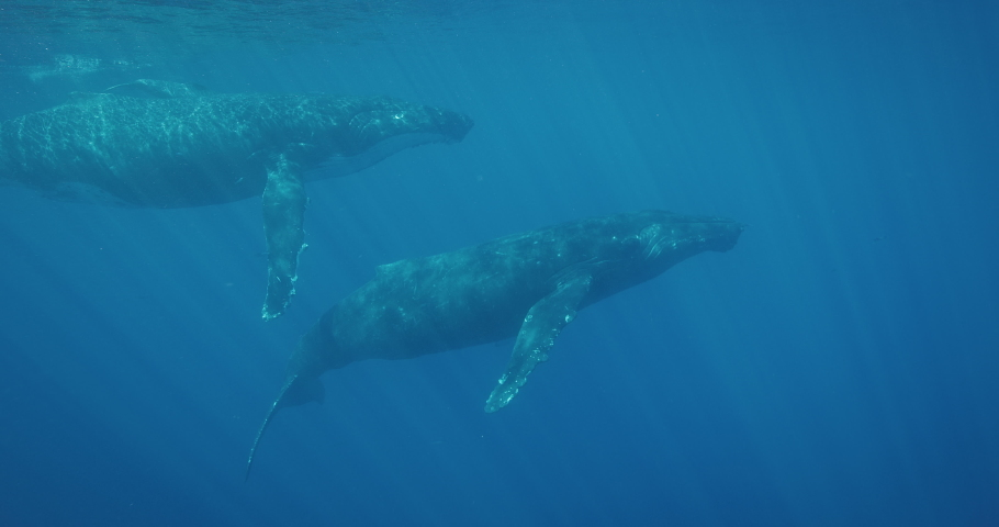 Underwater view of a pod of humpback whales swimming together in deep blue water, amazing underwater mammals migrating, blue planet