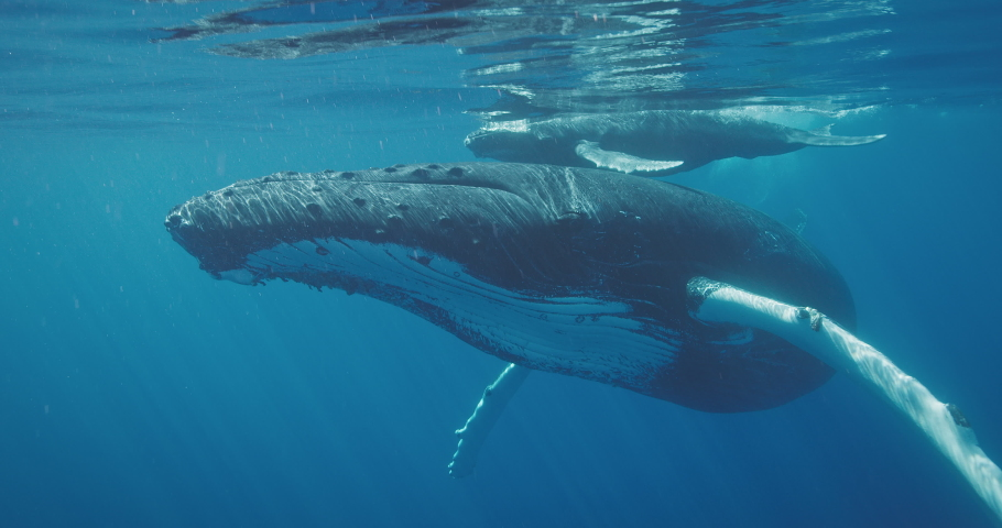 Underwater view of humpback whale swimming very close to the camera and waving its pectoral fin and tail, swimming with whales on vacation