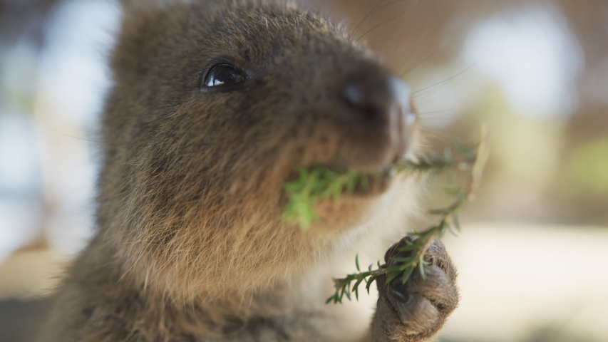 Close up Portrait of eating wild  Quokka on Rottnest Island. Western Australia Tourism. Slow Motion. RED Camera. | Shutterstock HD Video #1047201358