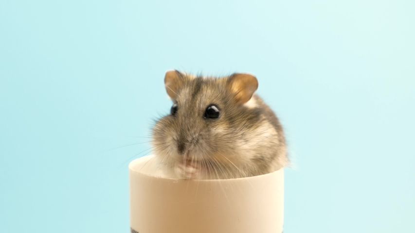 Closeup of a small funny miniature jungar hamster eating bread crums. Fluffy and cute Dzhungar rat at home.
