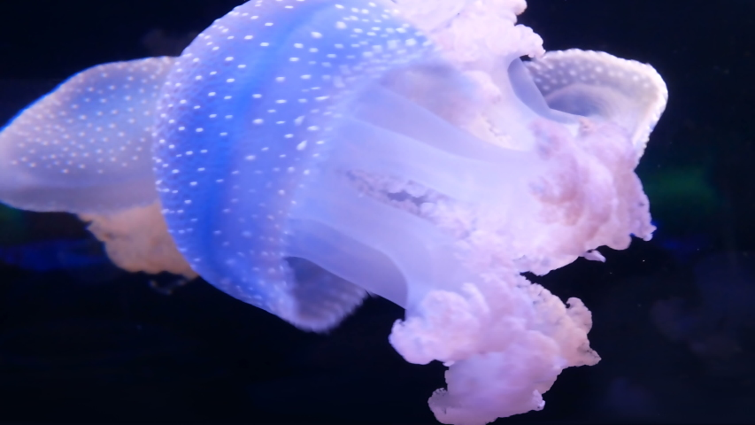 Jellyfish swims in blue ocean sea, dangerous poisonous jellyfish, Tenerife, Canary Island, slow motion