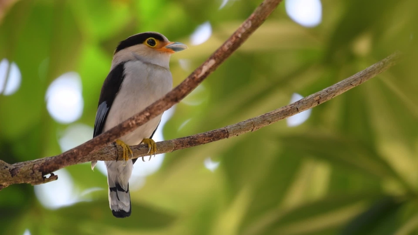 The Silver-breasted Broadbill is a famous bird in Thailand, both local and international; comical and ridiculously coloured bird, plus the bill that is so broad, it is an amusing bird to watch. Royalty-Free Stock Footage #1047291064