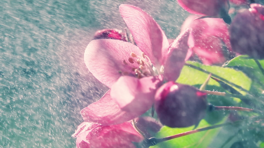 Blooming purple apple tree branch under the heavy rain with sun. Slow motion shot. Natural lighting. Romantic fresh floral background at early morning hours. | Shutterstock HD Video #1047326317