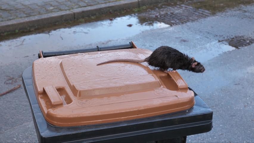 Wild norway rat, rattus norvegicus, on a dustbin, several takes, 50fps