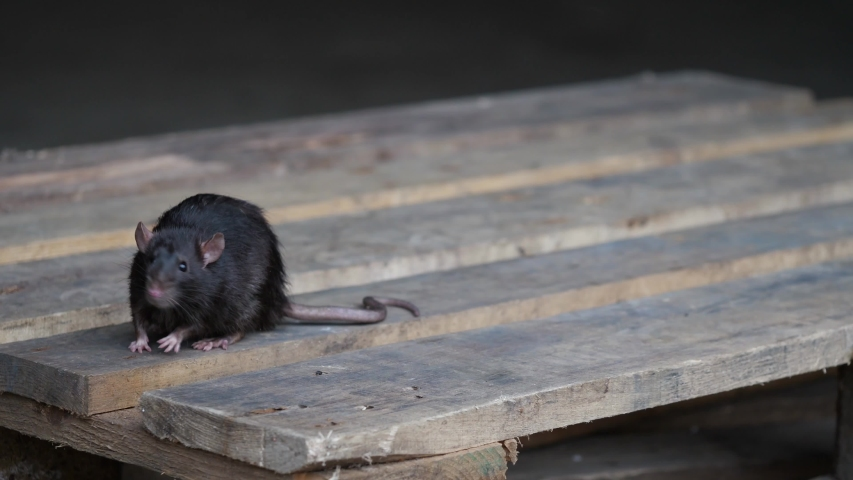 A wild norway rat, rattus norvegicus, is sitting on a pallet of wood in a garage, several takes
