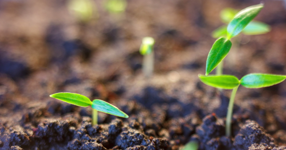 Germination of seeds, Growing plants in spring timelapse, sprouts germinating, newborn vegetable plants in greenhouse agriculture #1047428188