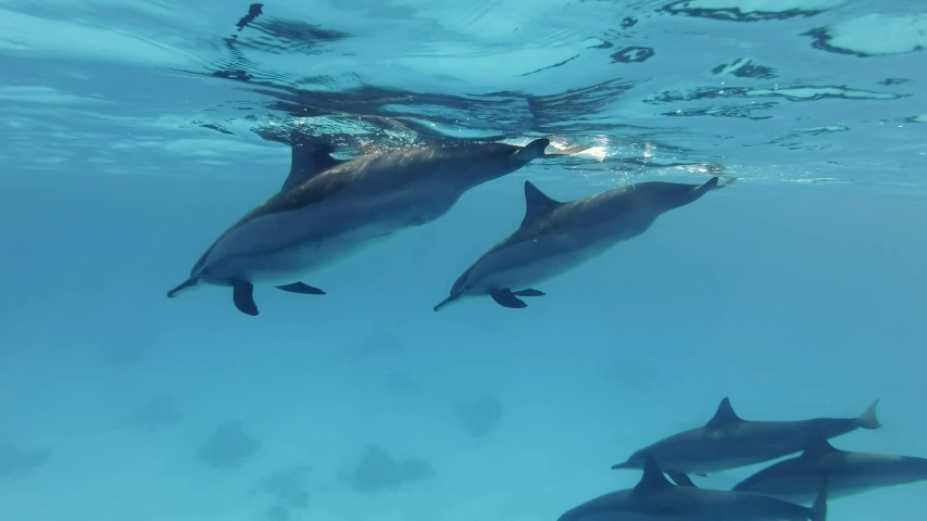 Group of 5 dolphins swim over sandy bottom. Spinner dolphins (Stenella longirostris), Underwater shot, follow shot, top view. Red Sea, Egypt, Africa Royalty-Free Stock Footage #1047469804