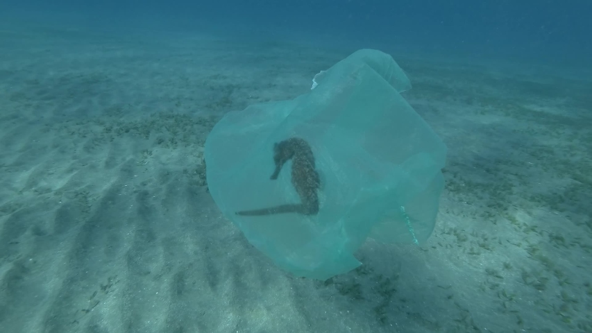 Male hand of a diver-volunteer frees a Seahorse entangled in a plastic bag. Plastic pollution of the ocean, plastic garbage in the water killing animals. Sea Horse from in plastic bag.  Royalty-Free Stock Footage #1047469990