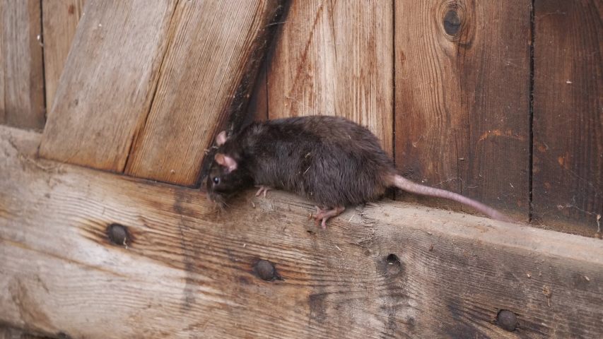 A brown rat is climbing into a wooden wall, several takes
