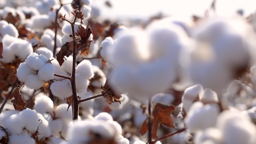 Agriculture, cotton in detail, macro cotton boll, cotton field with blue sky, Brazilian agribusiness   Shutterstock HD Video #1047562510