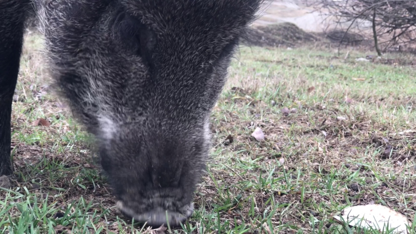 Wild boar (Sus scrofa) feeding in a clearing close-up | Shutterstock HD Video #1047622804