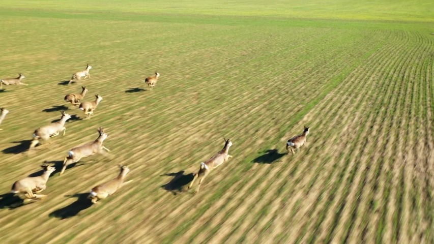 Herd of Roe Deer runing on green field. Deers are dangerous pests for young seedlings. Helicopter flight over wild animals. Wildlife from above. Aerial safari in Central Europe.  | Shutterstock HD Video #1047640960