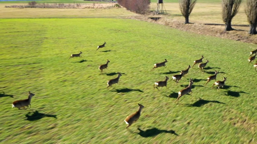 Herd of Roe Deer runing on green field. Deers are dangerous pests for young seedlings. Helicopter flight over wild animals. Wildlife from above. Aerial safari in Central Europe.