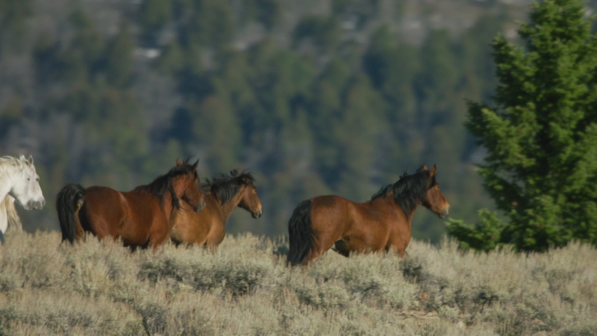 Herd of Mustang horses gallop through sagebrush, meadows, and trees in the foothills of the Gravelly mountain range near Ennis, Montana