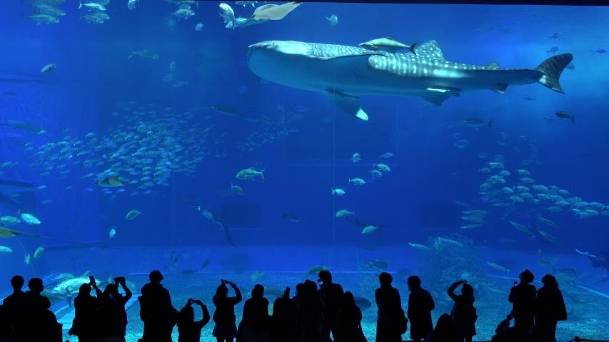 Okinawa,Japan -  February 18, 2020:Whale sharks swimming in Okinawa Churaumi Aquarium, Okinawa , Japan | Shutterstock HD Video #1047674383