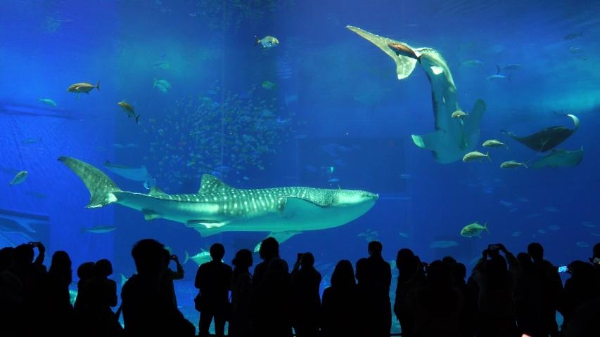 Okinawa,Japan -  February 18, 2020:Whale sharks swimming in Okinawa Churaumi Aquarium, Okinawa , Japan | Shutterstock HD Video #1047674392