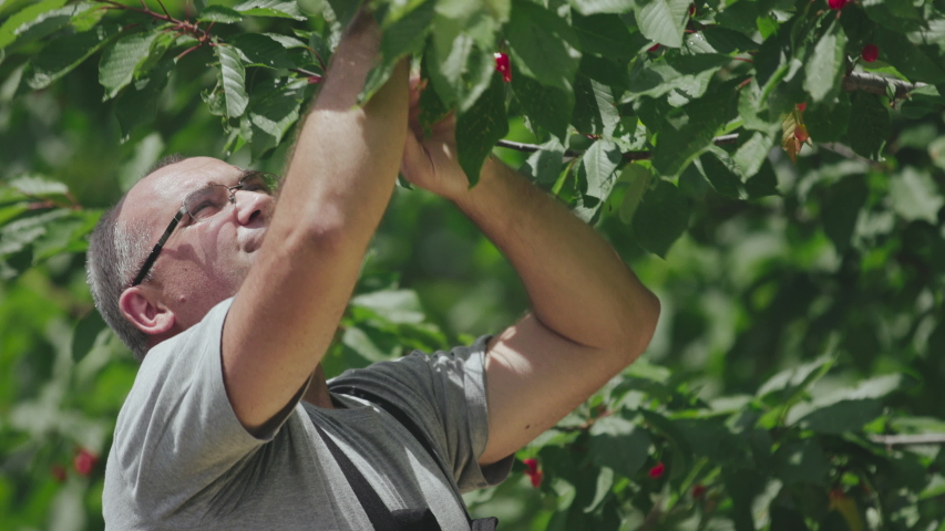 Cheerful man picking ripe sweet cherries from tree branch. Sustainable eco friendly and organic farming. | Shutterstock HD Video #1047696892
