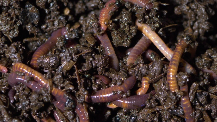 Worms in wormery, wiggl earthworms for fishing bait or composting   Shutterstock HD Video #1047716860