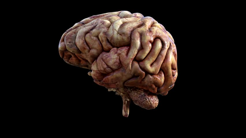 Smoothly animated 3D rotation of the human brain. Physically 3D rendered. Video is loopable and brain is easily isolated from the black backdrop. Corrected video aspect ratio.