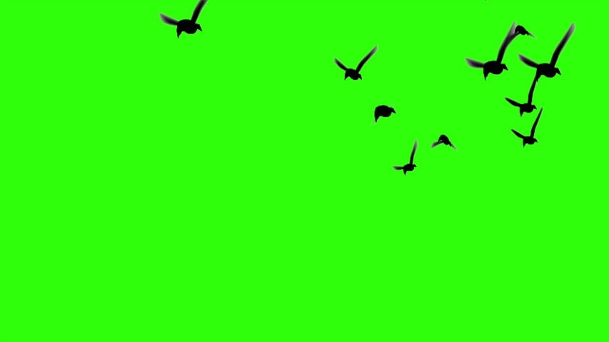 Flock of birds flying green screen like video clips