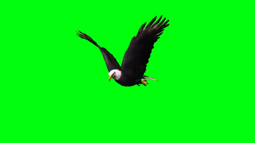 Eagle flying green screen keying video footage