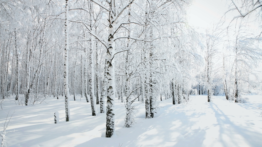 Panorama of winter birch forest after snowfall on a sunny day. With wolf tracks in the snow. | Shutterstock HD Video #1047829954
