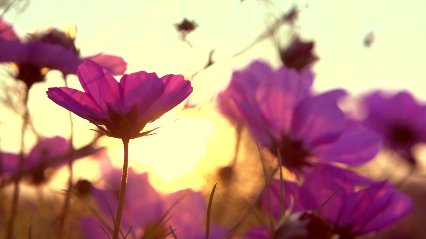 Cosmos Flower blooming in a garden over sunset sky. Beautiful red and pink colorful flowers growing on field. Spring and Summer nature scene. Sun flare. Slow motion 4K UHD video. Royalty-Free Stock Footage #1047839131