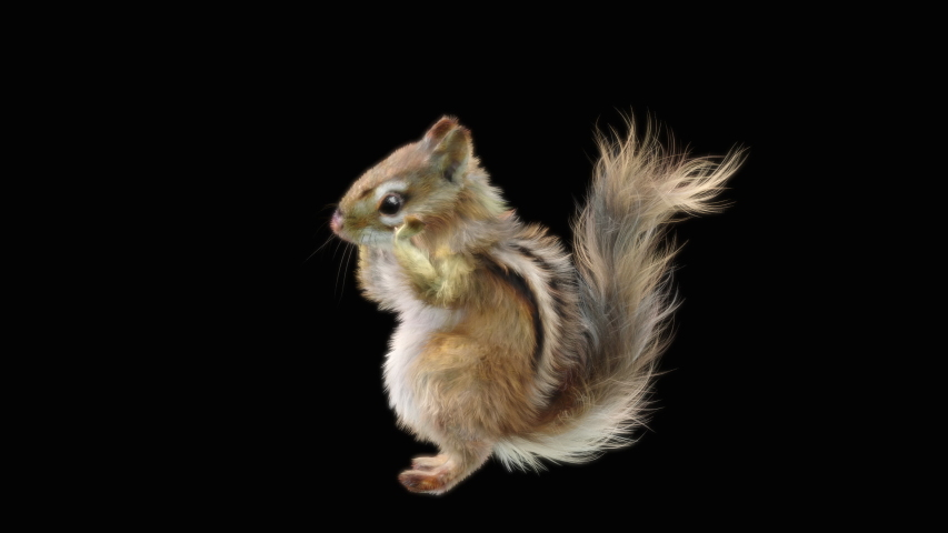Chipmunk CG fur 3d rendering animal realistic composition, 3d mapping, cartoon, Animation Loop, With Alpha Channel