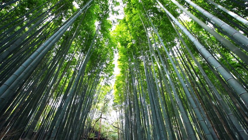 Kyoto, Japan low angle view vertical panning walking in Arashiyama bamboo forest grove canopy park pattern of many plants on spring day with green foliage color | Shutterstock HD Video #1047845509