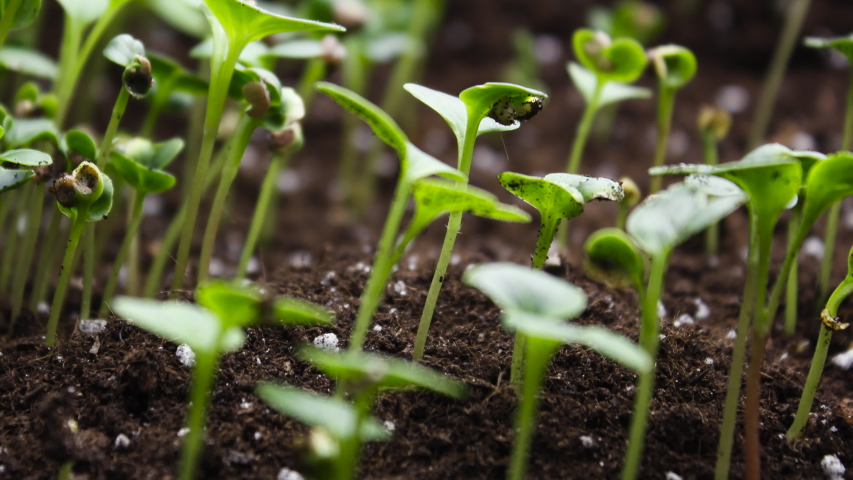 Plant Growing, Spring Timelapse , Sprouts Germination | Shutterstock HD Video #1047888595