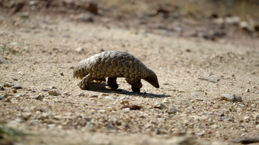 African pangolin in the wild.