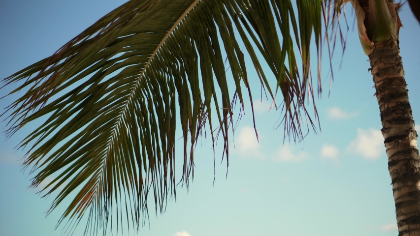Sun Through Palm Tree Leaves On Carribean Dominican Republic.Palm Tree With Coconut Moving in The Wind On Blue Sky.Exotic Tropical Greens Palm Leaf On Maldives. Summer Day In Tropical Island Vacation. | Shutterstock HD Video #1047921619