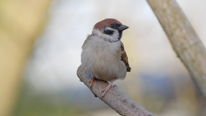 A Eurasian Tree Sparrow (Passer montanus) sitting on a branch. | Shutterstock HD Video #1048073566