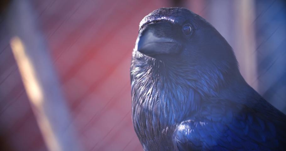 Corvus corax clarionensis. Large common raven head closeup. Black raven eyes and beak macro. Wild bird close up. Black crow head close up. Black crow looking straight into camera   Shutterstock HD Video #1048180684
