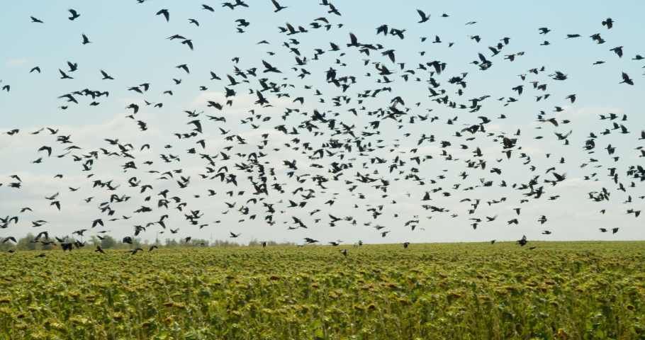 A huge flock of birds flies over a sunflower field against a background of blue sky and clouds. Crows eat farm harvest. Birds harm crops in agriculture.