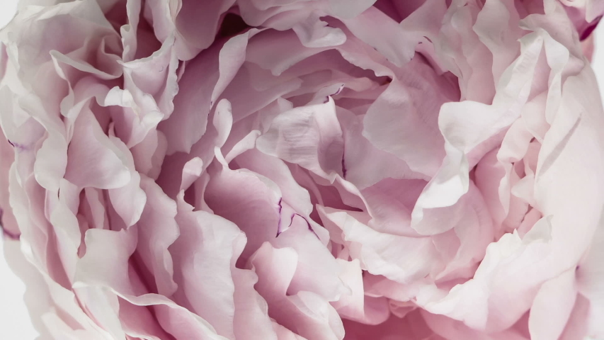 Beautiful Pink Peony Flower background. Blooming roses flower open, time lapse, close-up.   Shutterstock HD Video #1048235194