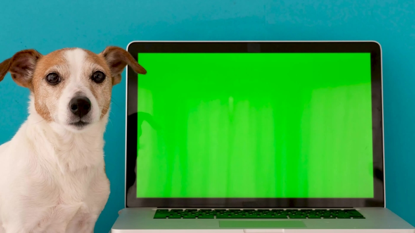 Dog looking at camera against laptop green screen on blue background