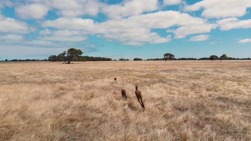 Family of kangaroos running on field in Australia on a sunny hot day | Shutterstock HD Video #1048569904