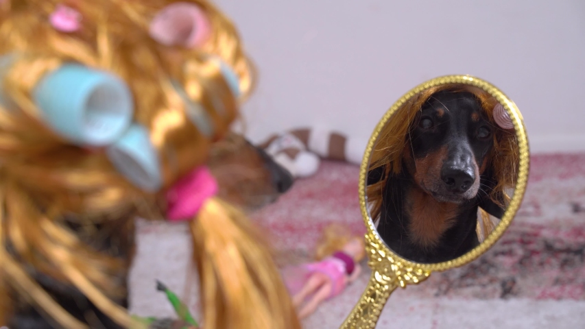 Funny black dachshund wearing golden blond wig and blue and pink hair curlers, watches in mirror. Indoors, back view to reflection.