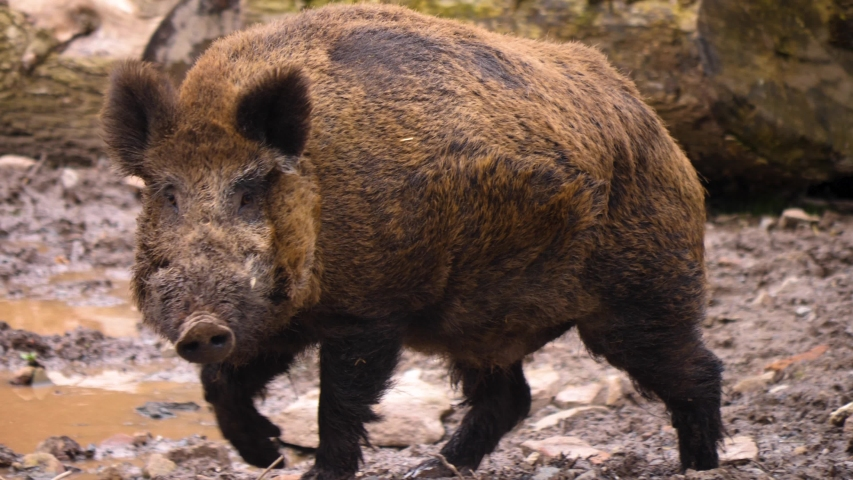 Close up of wild boar pig walking to the left.