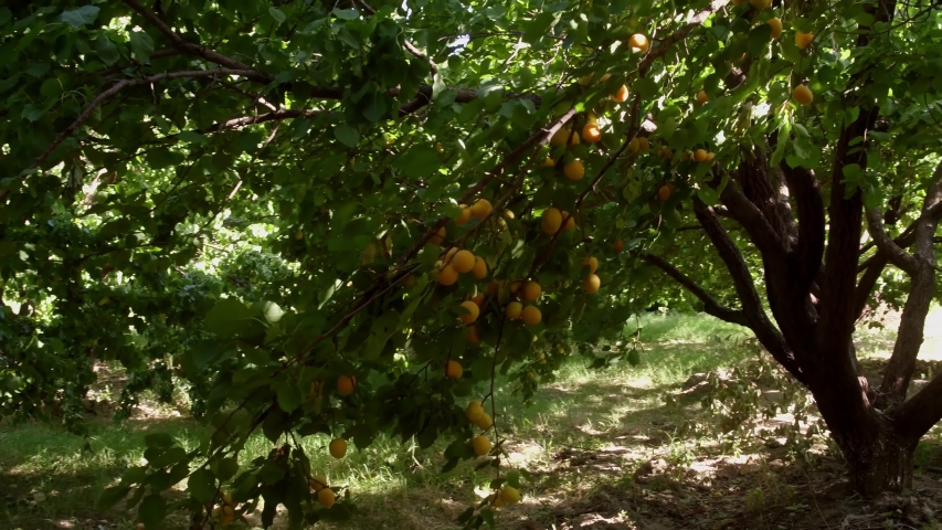 A lot ripe apricots on tree branch at sunny summer day in garden. | Shutterstock HD Video #1048639474