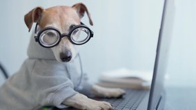 Adorable dog in glasses working with computer. Wearing sporty stylish hoodie. Freelancer work from home during quarantine Social distancing lifestyle. Stay at home. video footage