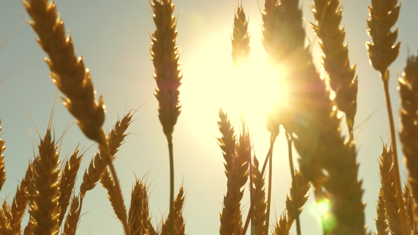 Field of ripening wheat against the blue sky. Spikelets of wheat with grain shakes wind. grain harvest ripens in summer. agricultural business concept. environmentally friendly wheat   Shutterstock HD Video #1048971043