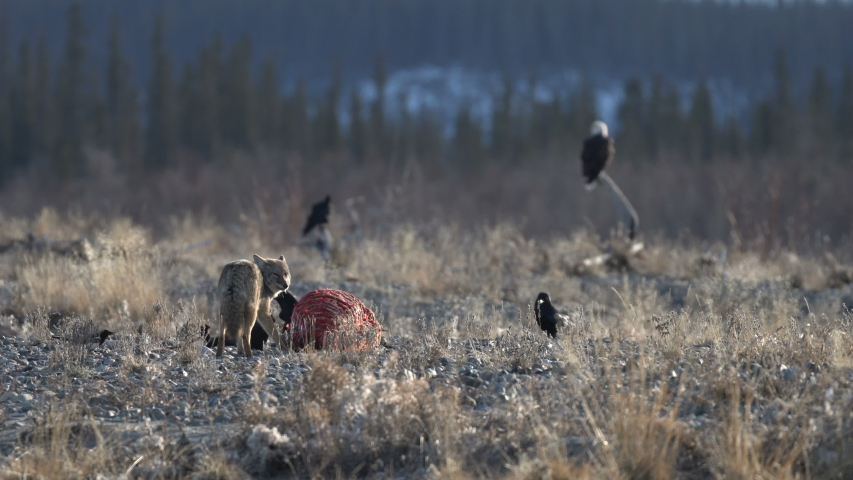 Very wide shot of coyote eating on a elk carcass killed by wolf, raven flying around while eagles and others are waiting they turn to fest. daylight, shot during early winter, Yukon, Canada | Shutterstock HD Video #1048988503