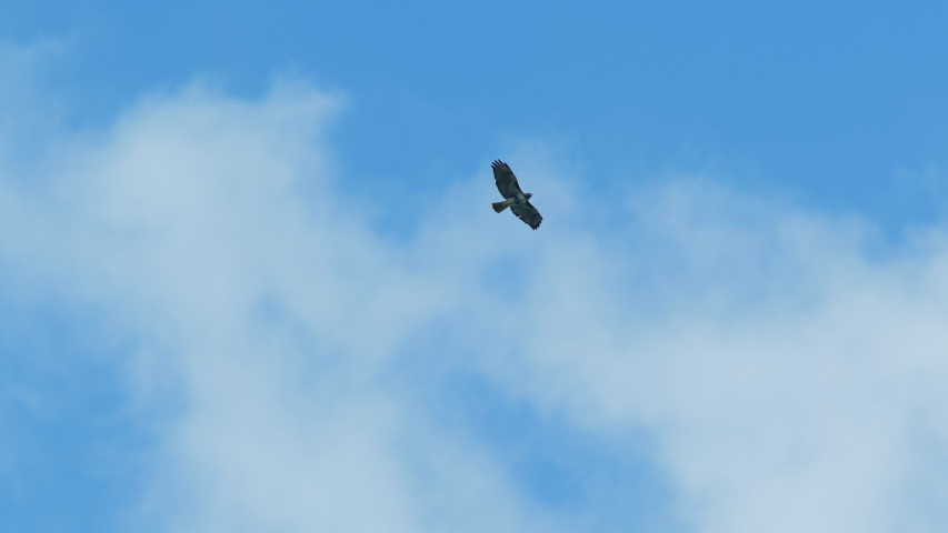 Hawk soaring high in the sky with blue sky and clouds. Slow motion. | Shutterstock HD Video #1049024248