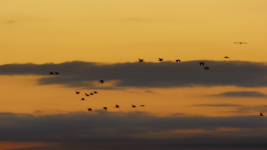 Flock of birds at sunset or sunrise flying in formation with nice clouds and sky in slow motion. Silhouette. Slow motion. Ibis.