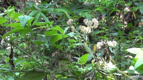 Spider Scamper. Dozens of long legged spiders scamper around suspended under jungle leaves.