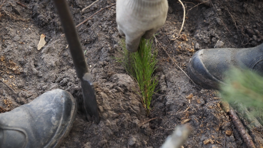 Planting forests manually. Reforestation on the planet. Working process of planting a tree. Planting forests manually. Reforestation on the planet. A forest worker is planting a tree.