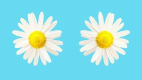 Funny bright colored blue clip with moving and rotating daisy camomile flowers. Light blue background. Copy space.